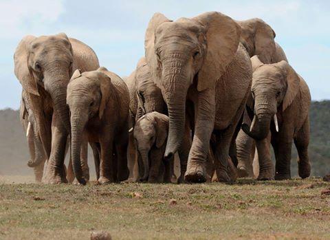 mindalia-elefantes