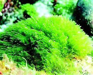 algas-aguas-depuradas