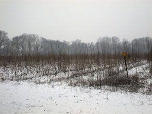 híbrido-de-álamo-para-biomasa