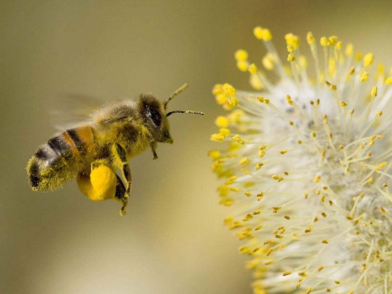 mindalia-abeja