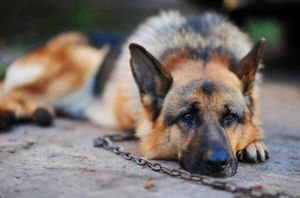 perro-tristemente-encadenado
